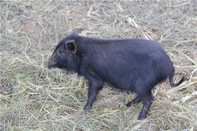 哪里有纯种藏香猪?