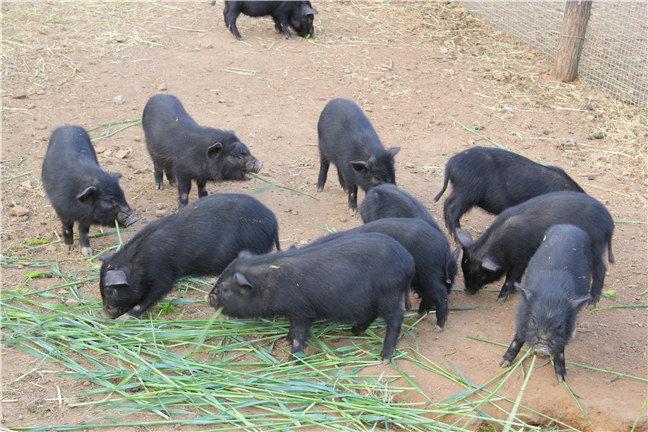 哪里有好的藏香猪品种?