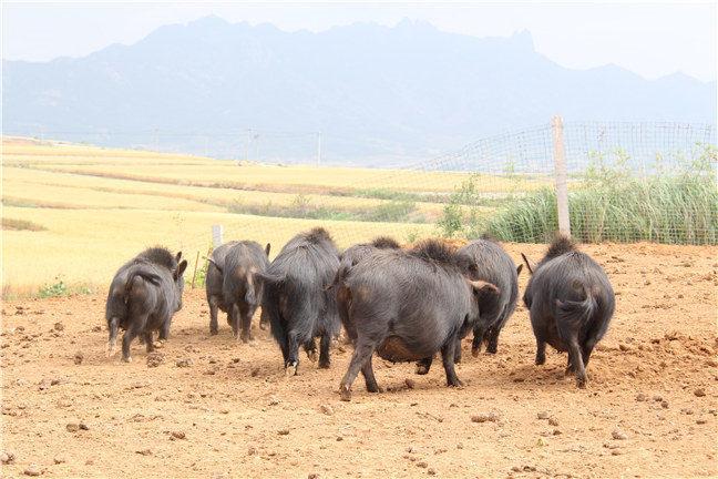 藏香猪营养价值