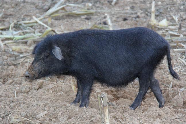 藏香猪猪肉