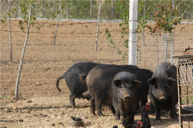 藏香猪的养殖
