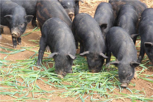 西藏藏香猪养殖基地