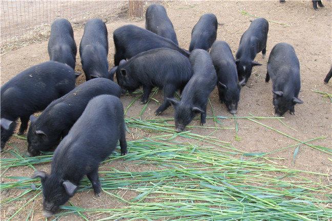 藏香猪乳猪养殖以及藏香猪乳猪购买 藏香乳猪
