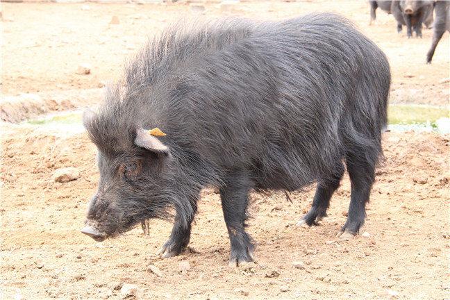 成年藏香猪的养殖