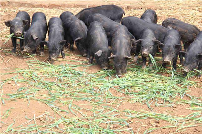 藏香猪养殖饲料