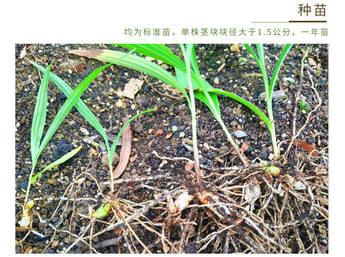 原生态/仿野生三叉小白芨种苗