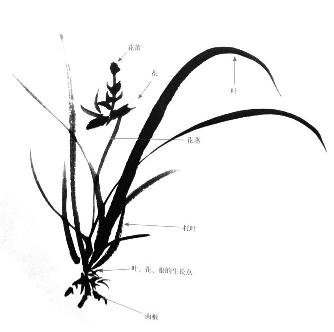 兰花的画法结构
