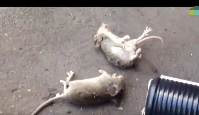 男子尝试用电棍电击老鼠, 测试后老鼠会怎么样呢?
