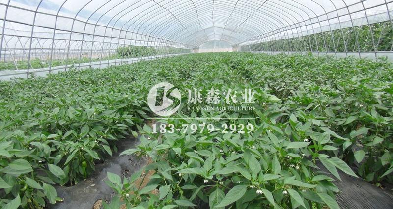 温室大棚辣椒优质高产栽培技术
