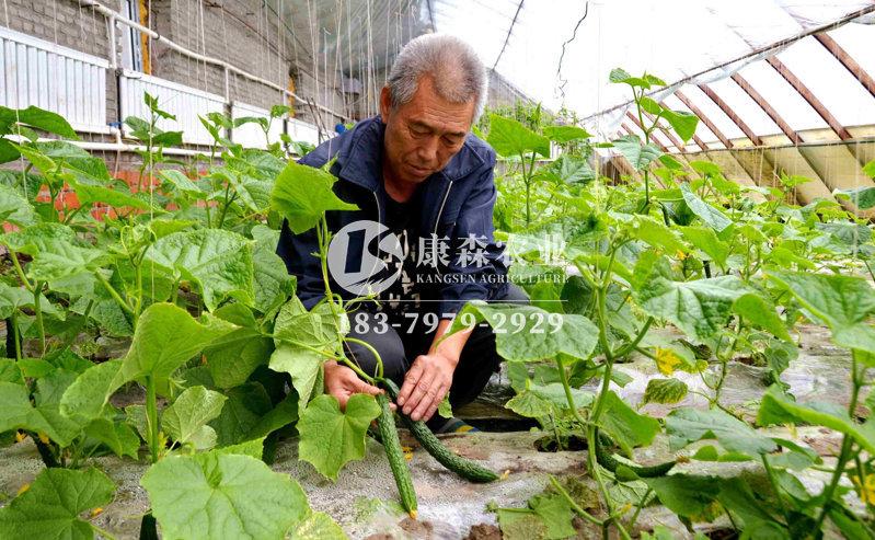 温室大棚黄瓜种植优质高产栽培技术