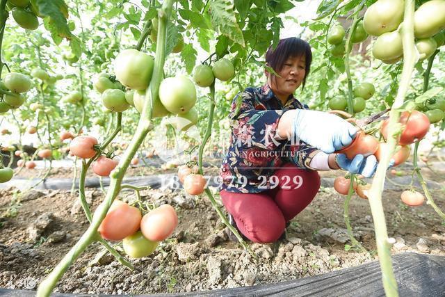 番茄大棚和普通温室的区别