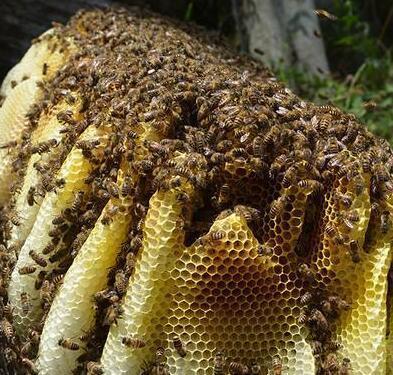 土蜜蜂养殖方法介绍
