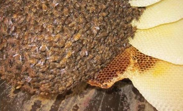 经常喝土蜂蜜对身体有好处吗?