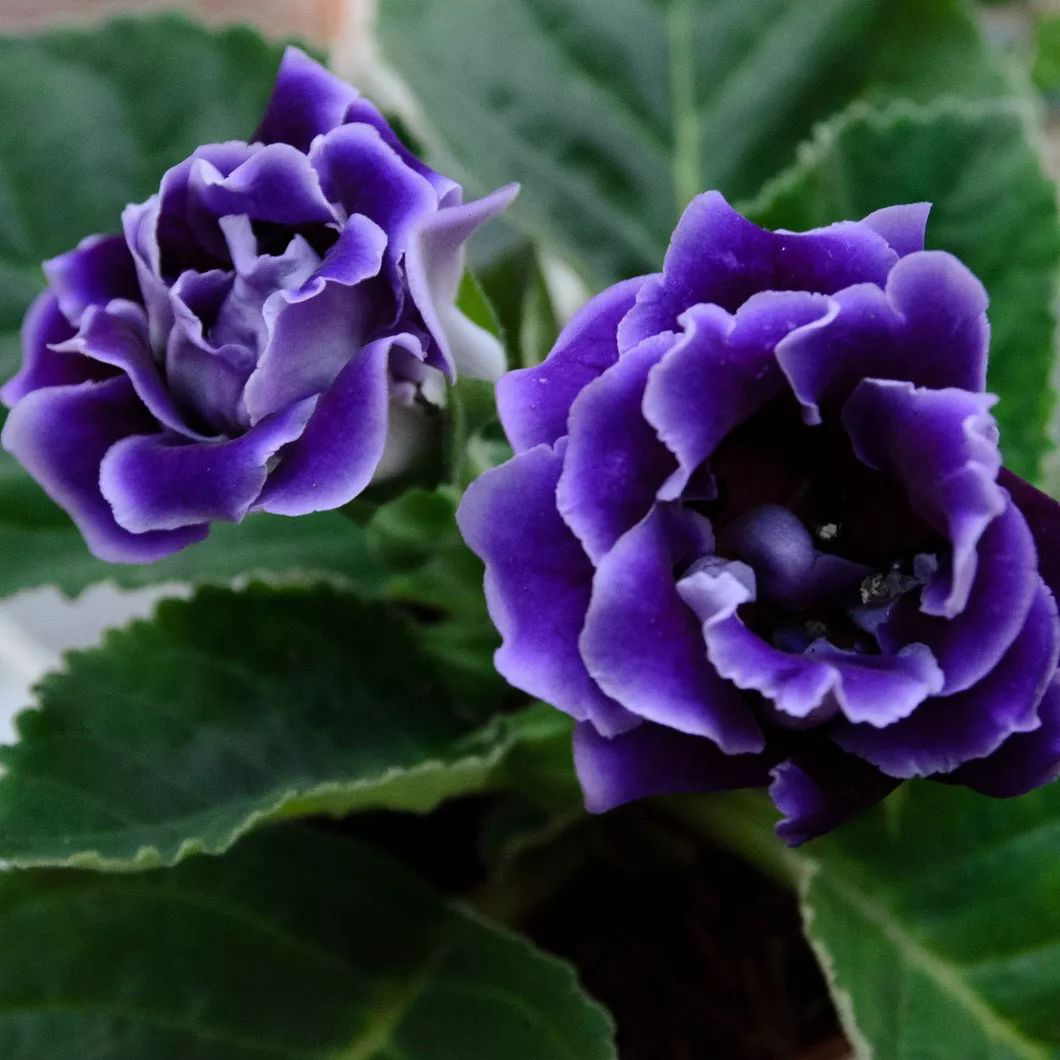 成都植物租摆推荐非常容易养殖的盆栽花卉