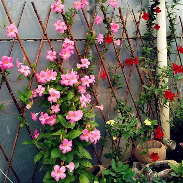 成都植物租赁力荐适合室内的藤本植物(香飘藤)