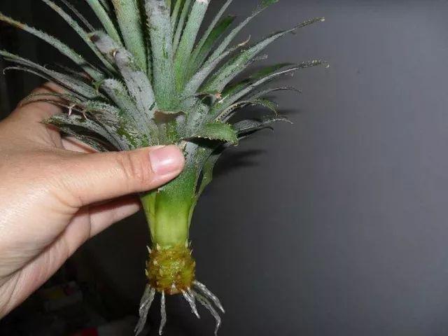 成都植物租赁教你菠萝的盆栽种植方法