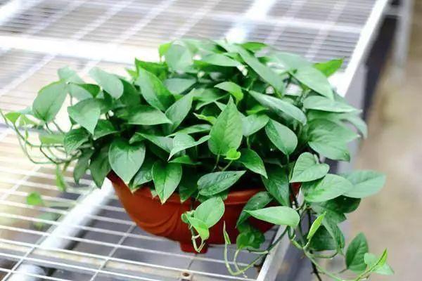 成都植物租摆4重好种植推荐(绿萝)