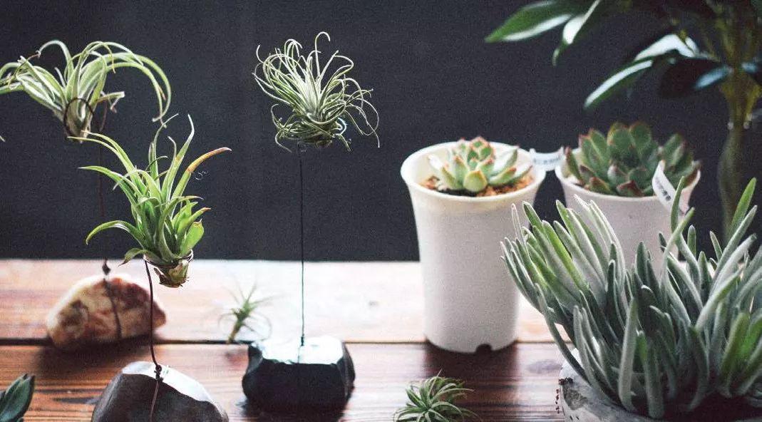 成都专业植物租摆教您空气凤梨养护方法