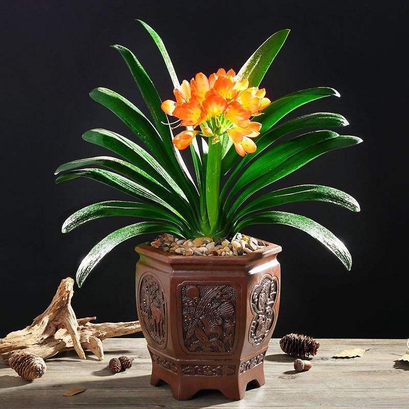 室内风水植物君子兰