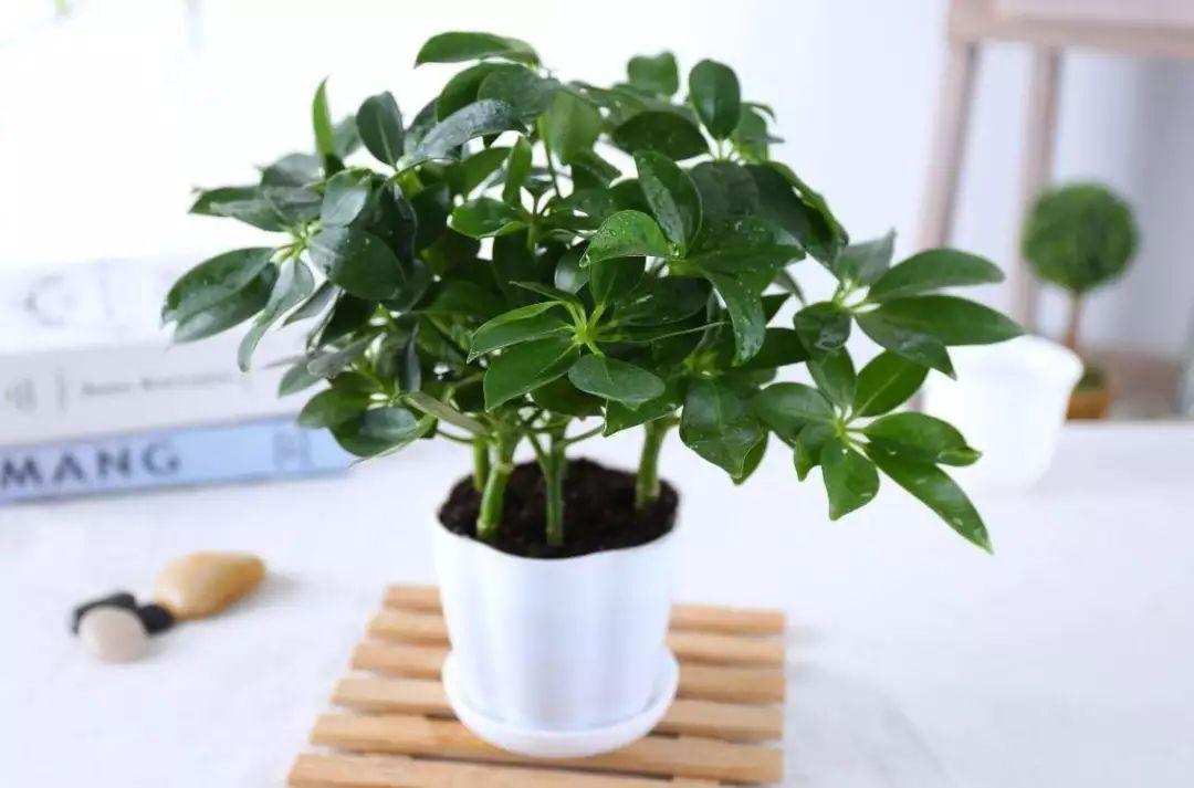 饭厅植物摆放品种技巧
