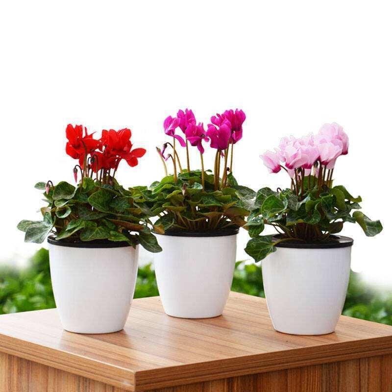 成都植物租摆仙来客养护技巧