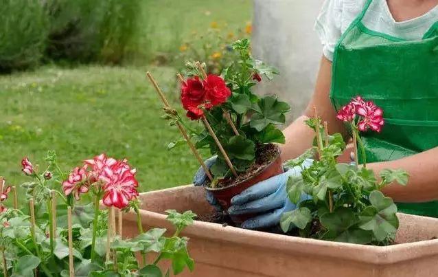 成都植物租摆室内盆栽施肥要领