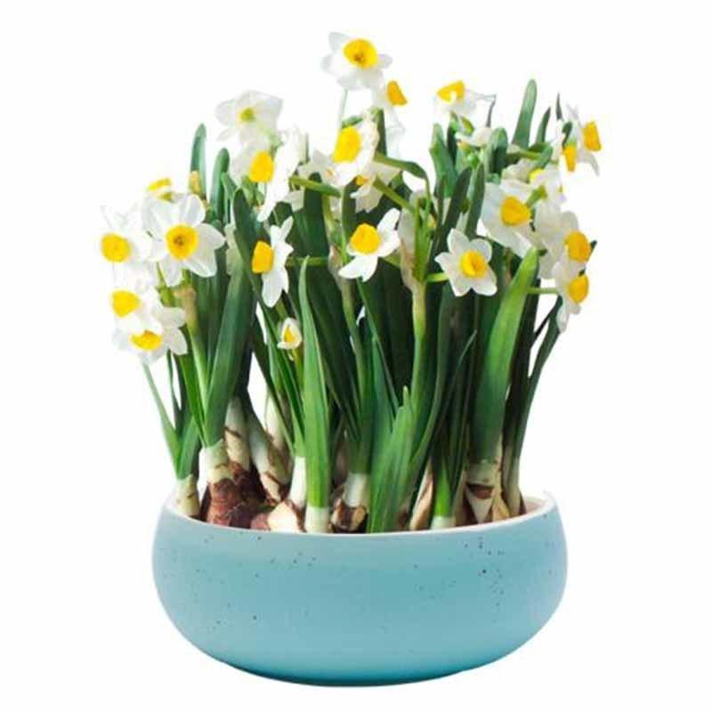 成都植物租摆新年植物推荐水仙花