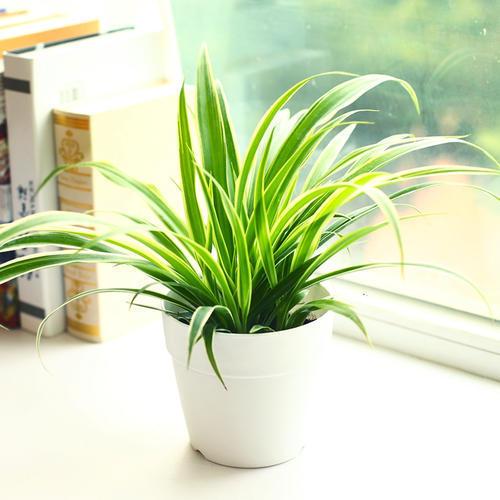 适合室内摆放的盆栽植物吊兰