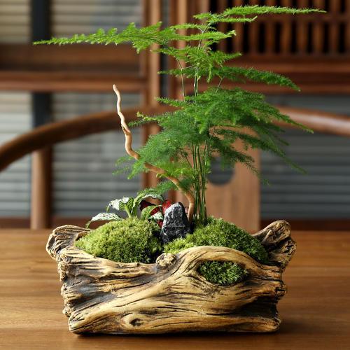 适合室内摆放的盆栽植物文竹