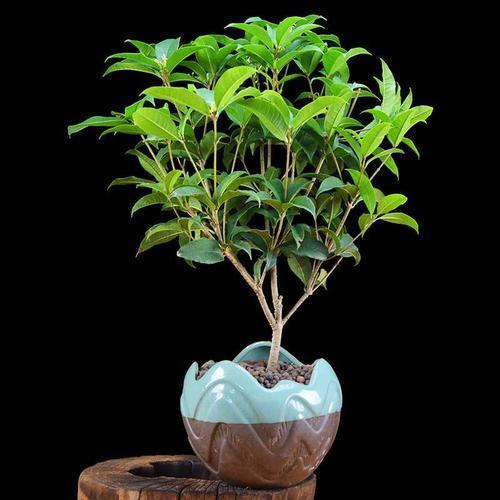 成都植物租摆解析室内适合养殖桂花吗