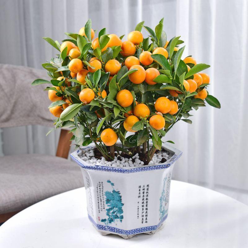 成都花卉租赁新年品种推荐金桔树