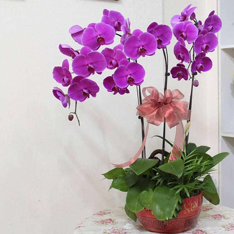 成都苗木销售新年盆栽推荐蝴蝶兰
