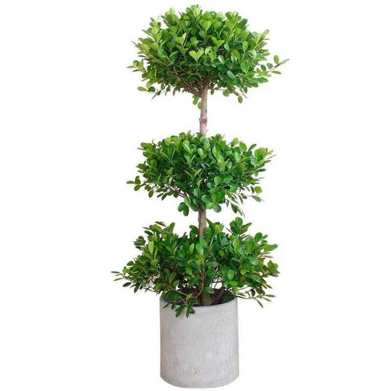 室内风水植物金钱树