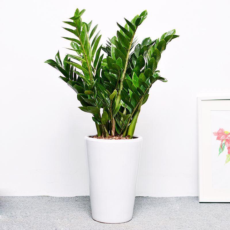 成都植物出租(金钱树)