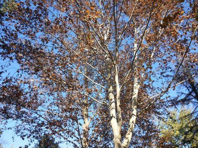 寓言故事之牺牲的梧桐树