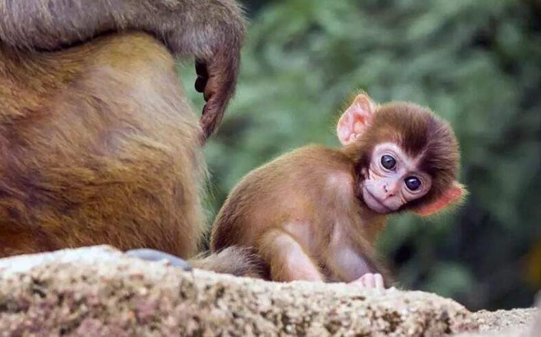 猴子的报恩之心