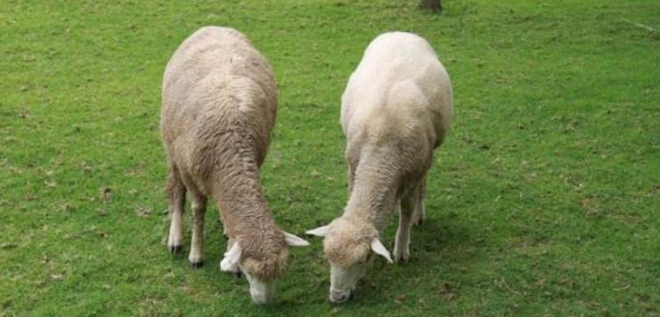 拿牛替代了羊